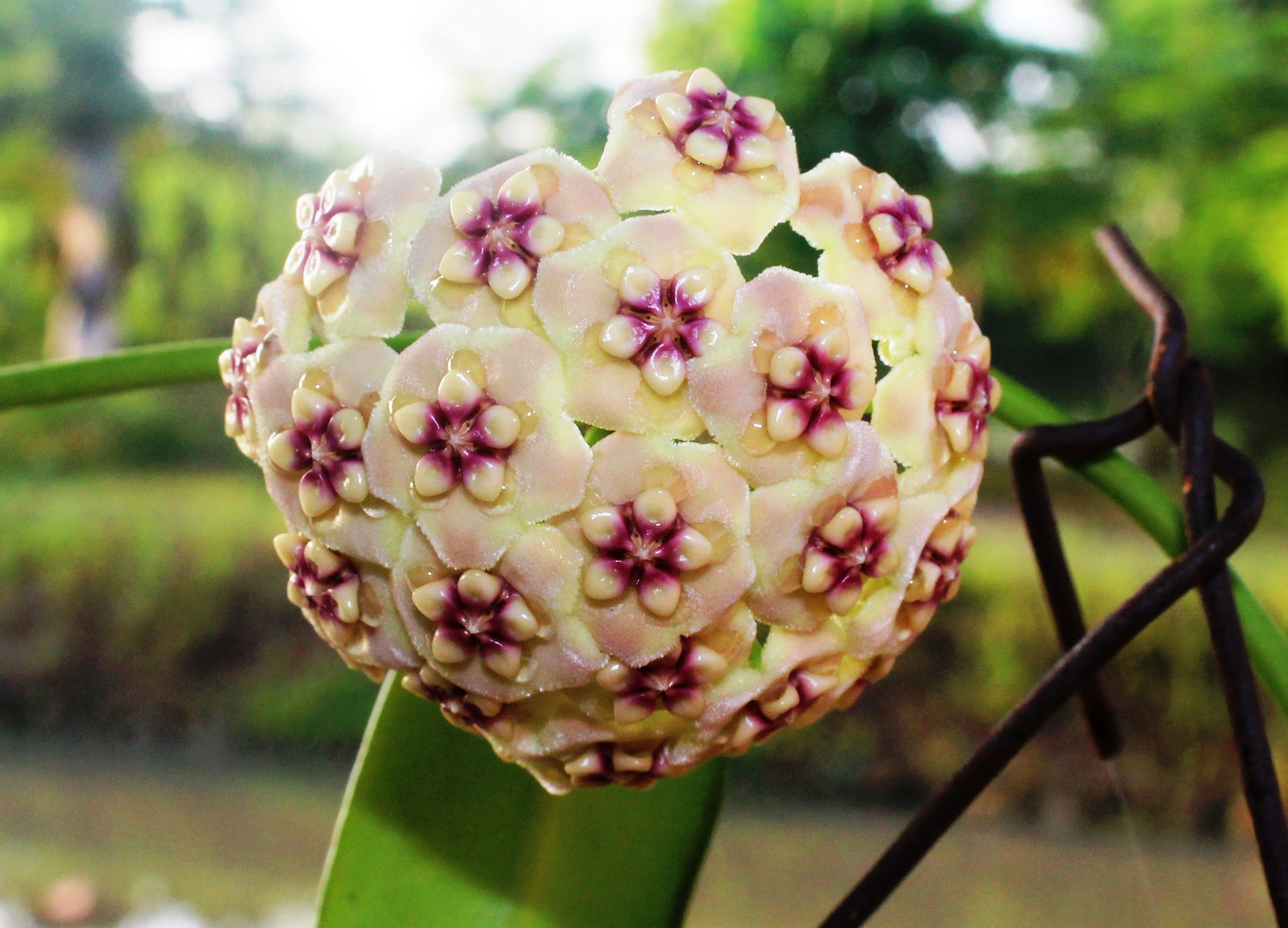 Hoya plant - Science and Digital News